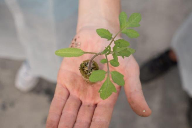 Tomoto plant
