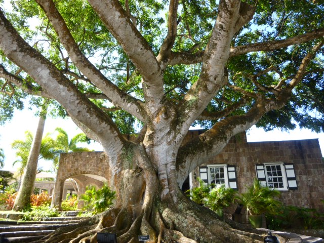 The beautiful fig tree at Montpelier Plantation & Beach